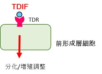 TDIF による前形成層細胞の増殖・分化制御